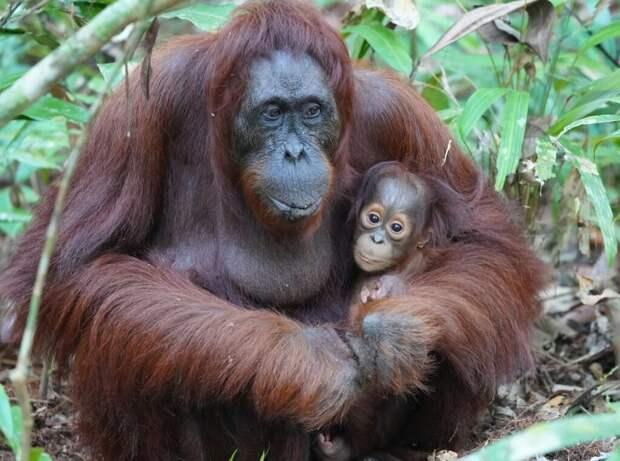 Самка орангутанга примерила очки посетительницы в зоопарке Индонезии и они ее не впечатлили (видео)