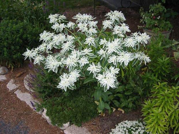 Выращивание на даче цветка богатая невеста