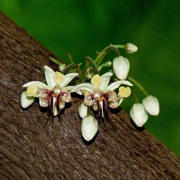 Цветение шоколадного дерева