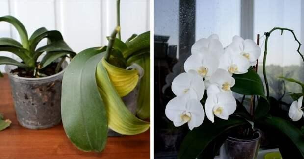 Почему вянут листья у орхидеи? Реанимируем любимое растение