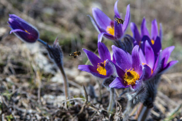 На фото: цветёт сон-трава на горе Клементьева.