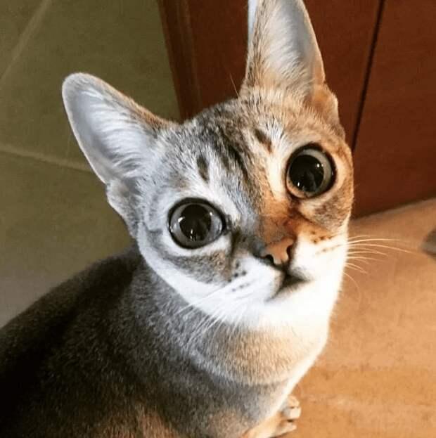 Сингапурская кошка с огромными «космическими» глазами живет в доме Агутина и Варум