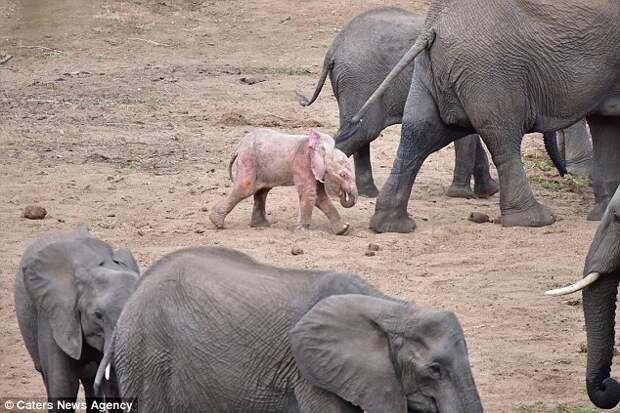 Исключительно редкий слоненок-альбинос появился в ЮАР. Вот фото