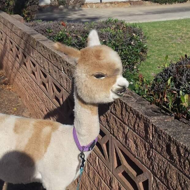 Но постоянно гуляет во дворе Instagram, альпака, домашний питомец, животные, милота, фото