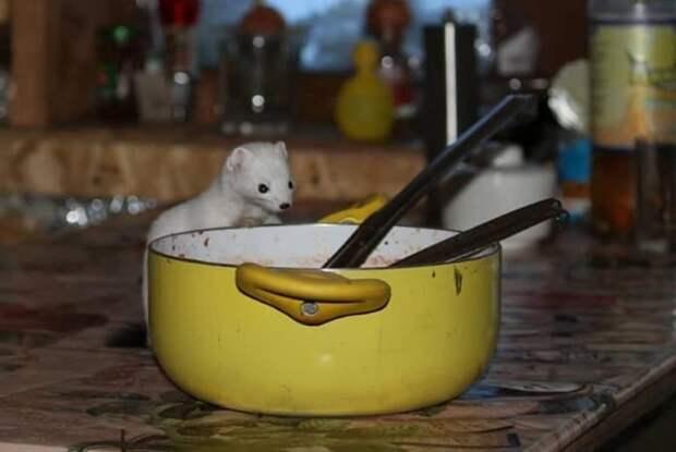 Горностай вломился в дом на Камчатке и съел борщ