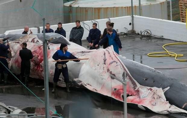 Миллионер, ответственный за убийство редкого вида кита, «обещает убить еще 150»!