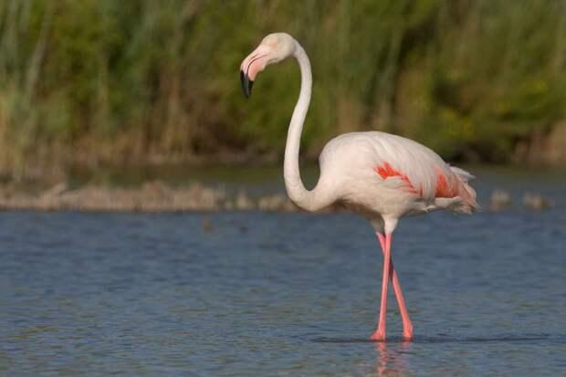 Обыкновенный фламинго – восьмое чудо света.
