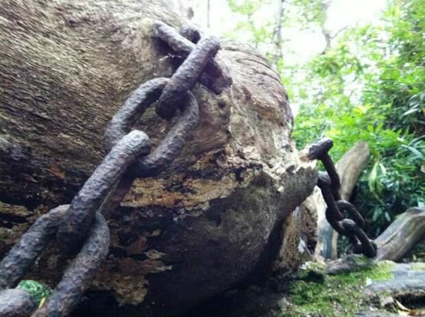 Зачем дуб в британском графстве двести лет назад заковали в цепи
