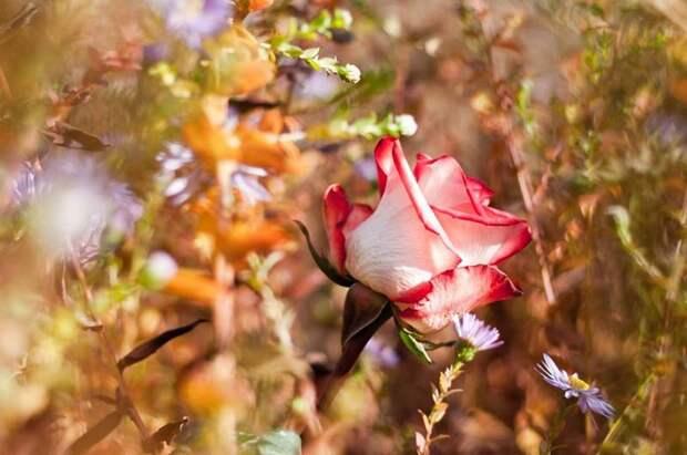 Роза среди сорняков