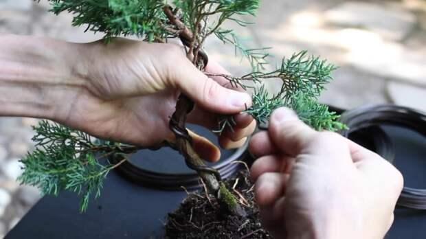 Бонсай из хвойного деревца — реально сделать своими руками