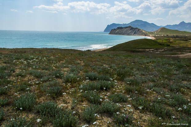 На фото: цветёт белый птицемлечник на берегах Тихой бухты.