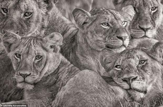10. Лакшитха Карунаратхна (Lakshitha Karunarathna) дикая природа, дикие животные, животные, лучшие фото, львы, подборка, фото, хищники