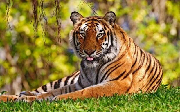 Тигриная благодарность