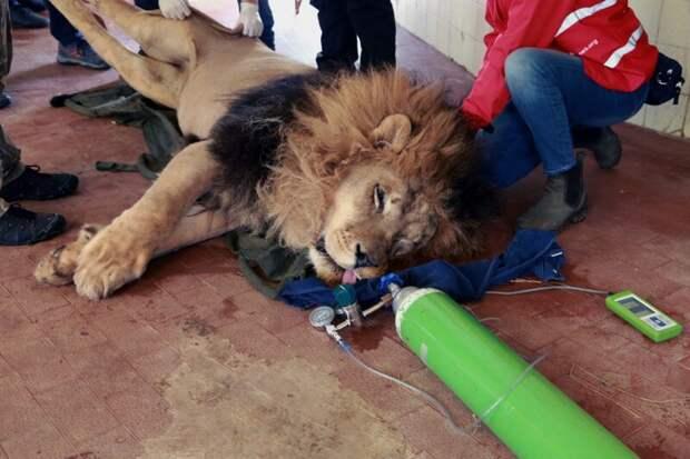 """Зоозащитная организация """"Four Paws"""" доставила львов в специализированный ветеринарный центр в Нидерландах Four Paws, Албания, животные, зоопарк, организация, спасение, фото"""