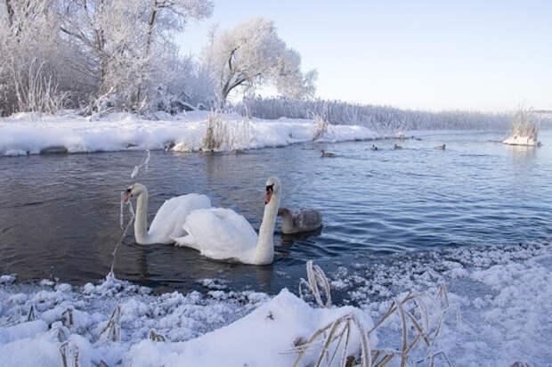 Женщина спасла целую стаю лебедей, забрав их на зимовку к себе