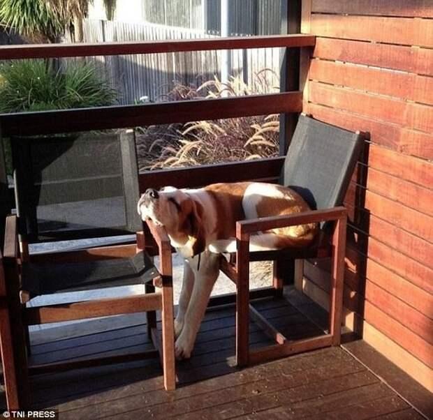 Эх, коротковато креслице! животные, мило, собаки, фото