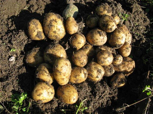 Урожай картофеля порадовал