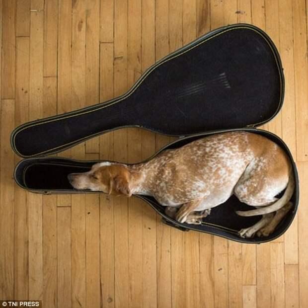 Музыкант животные, мило, собаки, фото