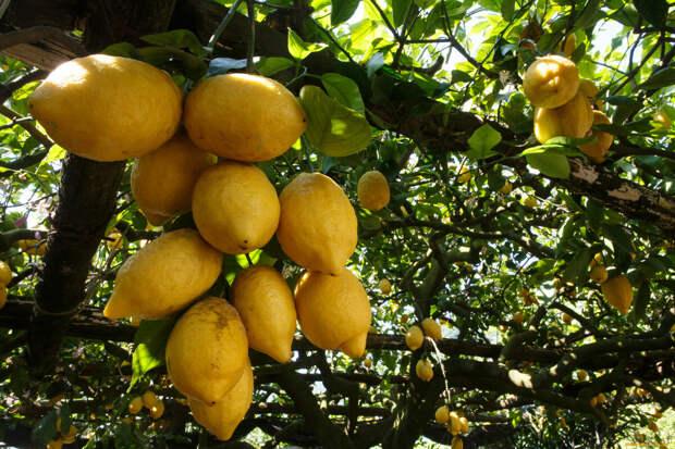 В дикой природе лимоны не встречаются. Фото: из открытых Интернет-источников