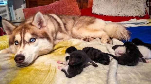 Собака породы хаски спасла от гибели семь брошенных котят