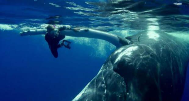 """""""Она близко, детка!"""" 22-тонный кит пытался подсадить женщину на себя, а потом… спрятал под плавником!"""
