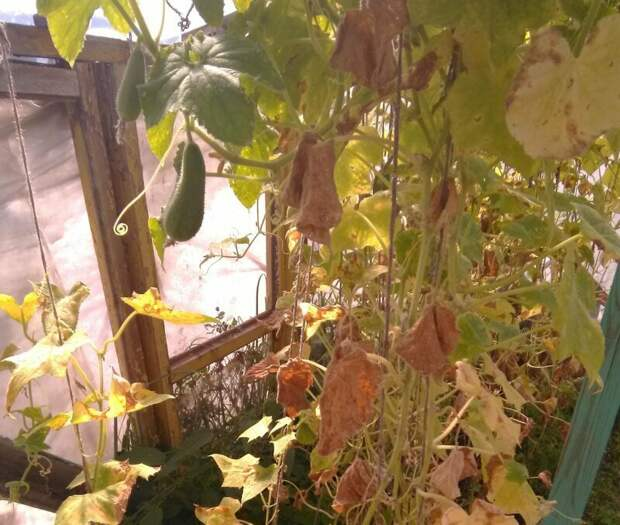 Как растут огурцы в Подмосковье на 6-ти сотках 6 соток, огурцы, парник