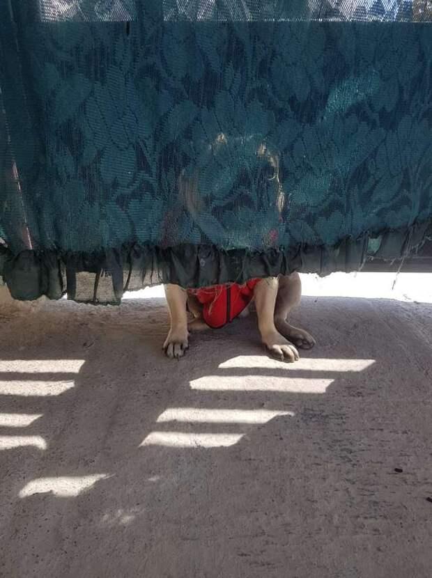 мопс прячется