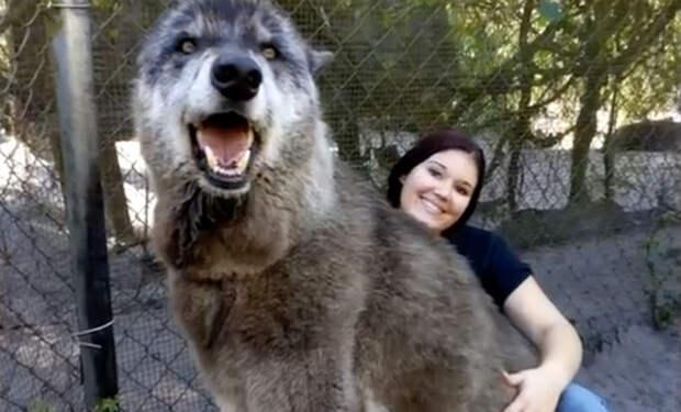 Приют спас собаку, собака оказалась волком