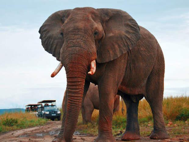 Агрессивный слон едва не расплющил машину с туристами!
