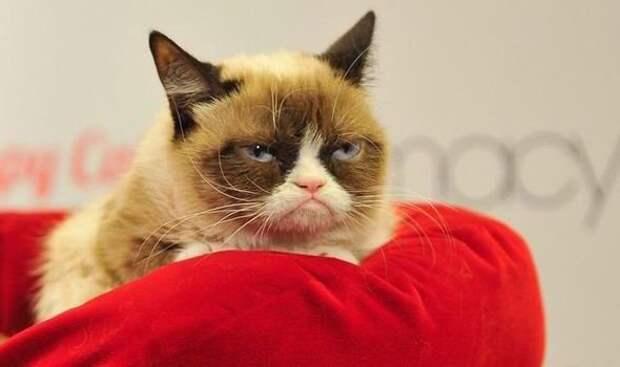 Grumpy Cat или Сердитый кот животные, интересно, коты, кошки, питомцы, подборка, топ