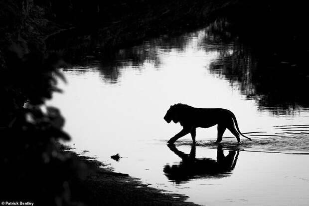 7. Патрик Бентли (Patrick Bentley) дикая природа, дикие животные, животные, лучшие фото, львы, подборка, фото, хищники