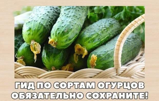 ГИД ПО СОРТАМ ОГУРЦОВ