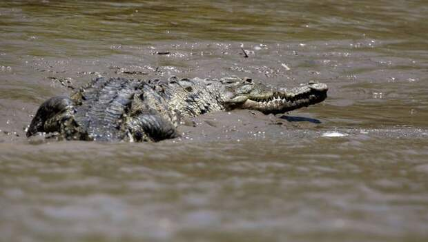 Два бегемота помогли антилопе-гну спастись от крокодила