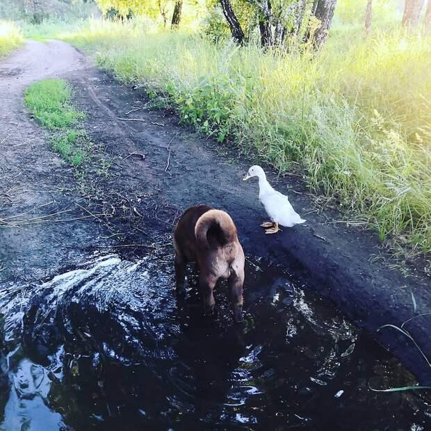 В Омске пара охотничьих собак «усыновила» спасенного на дороге утенка