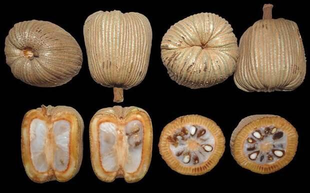Moela-de-Mutum, Научное название - Lacunaria jenmanii (Oliv.) Ducke еда, интересное, неизвестные, плоды, природа, растения, съедобные, фрукты