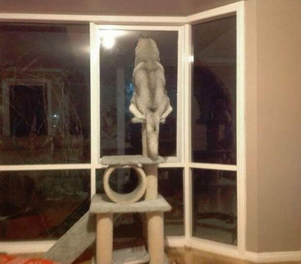 12. Хаски, которая думает, что она - кошка забавно, забавные животные, питомцы, смешно, собака, собаки, хозяева