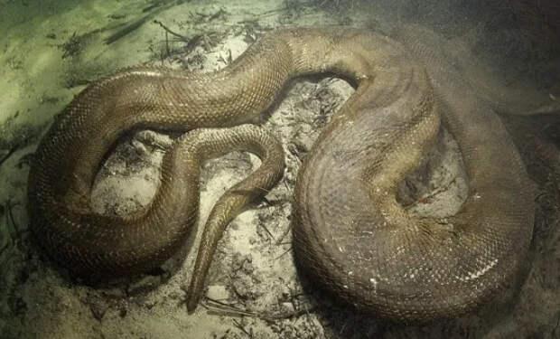 Гигантская анаконда: хищник, которого боится вся Амазонка