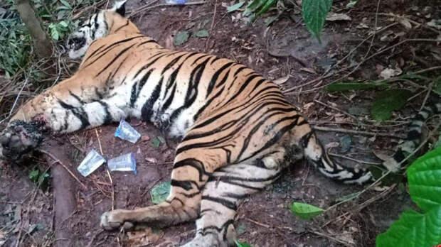 Заболевшую коронавирусом тигрицу усыпили в шведском зоопарке