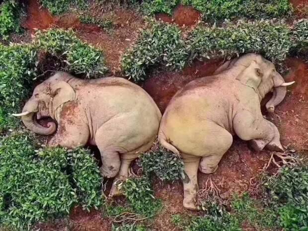 Дикие слоны забрели в деревню в Китае, выпили все вино и уснули