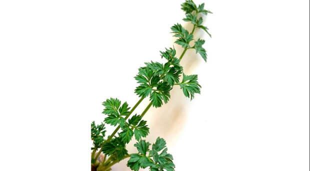 10 сорняков, которые нужно собирать прямо сейчас, иначе придётся есть жухлую петрушку