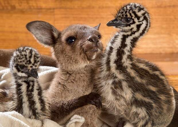 Эти ласкающиеся страусята икенгуренок заставят вас плакать отумиления!