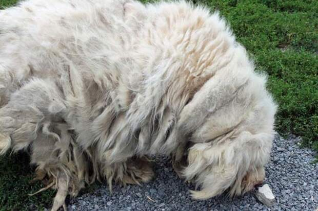 Превращение свалявшегося куска шерсти в милого пса