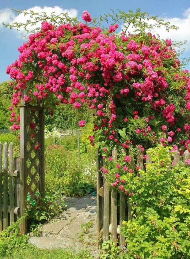 плетистые розы на перголе