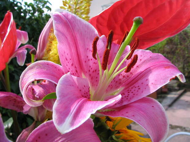 Картинки, Розовая лилия красивые заставки на рабочий стол обои, рисунки, фото, заставки, на рабочий стол