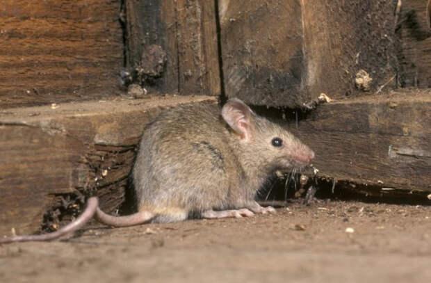 Нашествие крыс в австралийской тюрьме