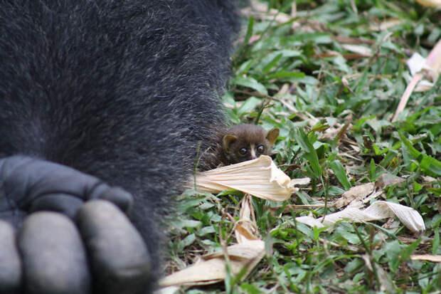 Необычная дружба гориллы с крошечным зверьком