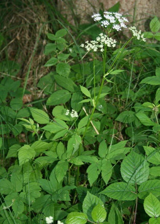 Сныть или серафимова трава Полезная лечебная помогает от подагры сердечных заболеваний