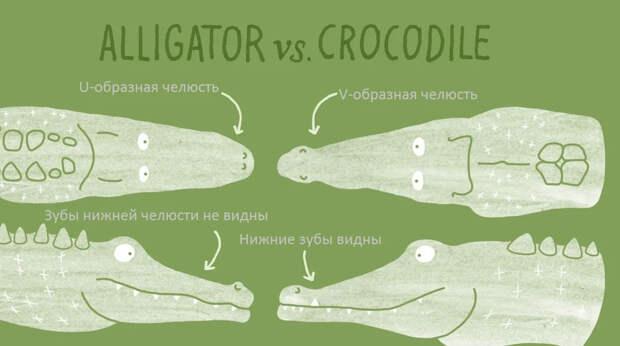 Аллигаторы: Кушает фрукты и вмерзает в лёд живьём. Отличия аллигаторов от настоящих крокодилов