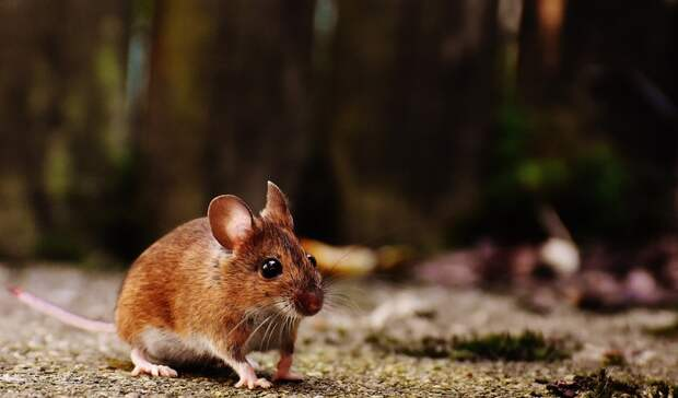 Мыши атаковали поля наСтаврополье
