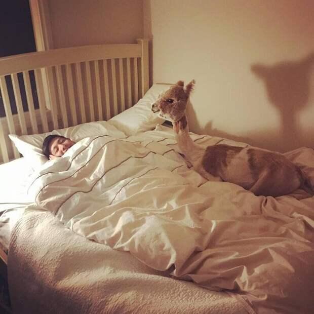 На кровати ведь удобнее! Instagram, альпака, домашний питомец, животные, милота, фото